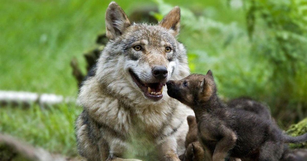 Sauvons les loups de France et en Europe