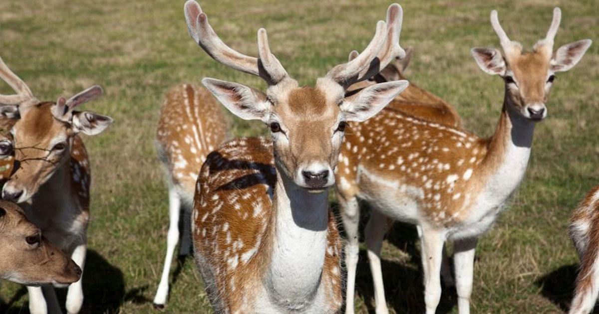 Stopper l'abattage du troupeau de Daims du parc du Morvan