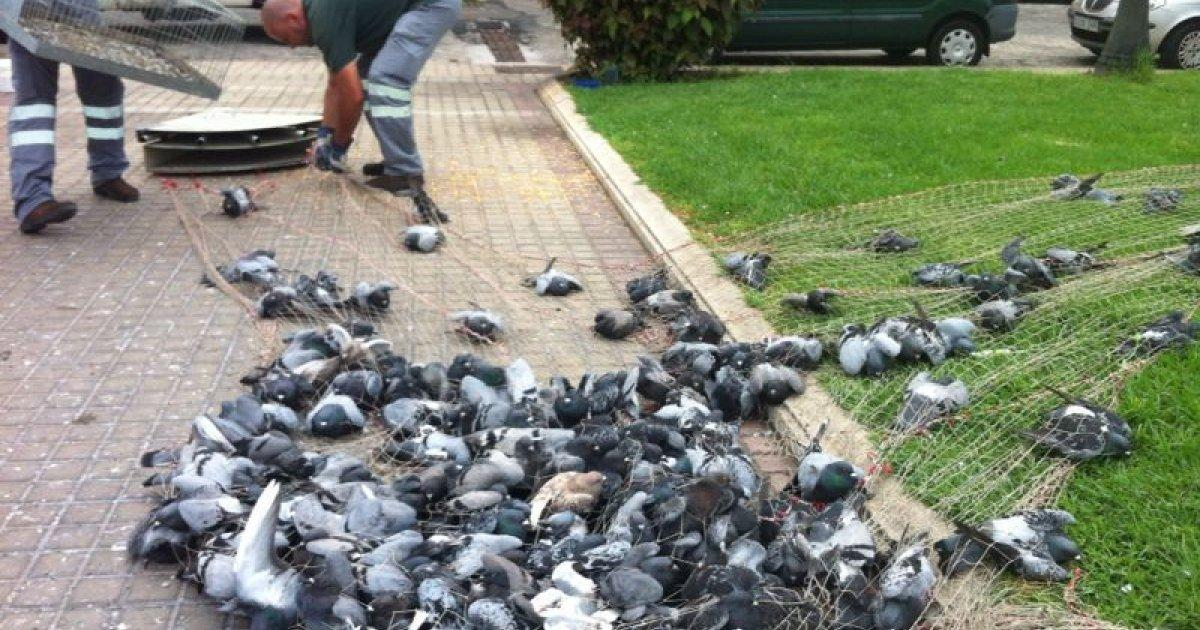Stop the Extermination of Pidgeons, Exist Food with Sterilizers That are Very Effective as they Could be Used Instead of Gas Them