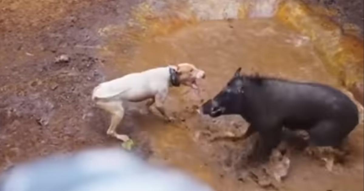 Proibir lutas brutais entre cães e javalis!