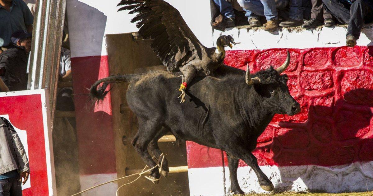 Paremos el Yawar Fiesta donde Matan un Cóndor y un Toro