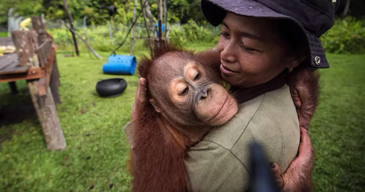 Salvar a los orangutanes de Indonesia que están quemando y asesinando en los bosques donde habitan