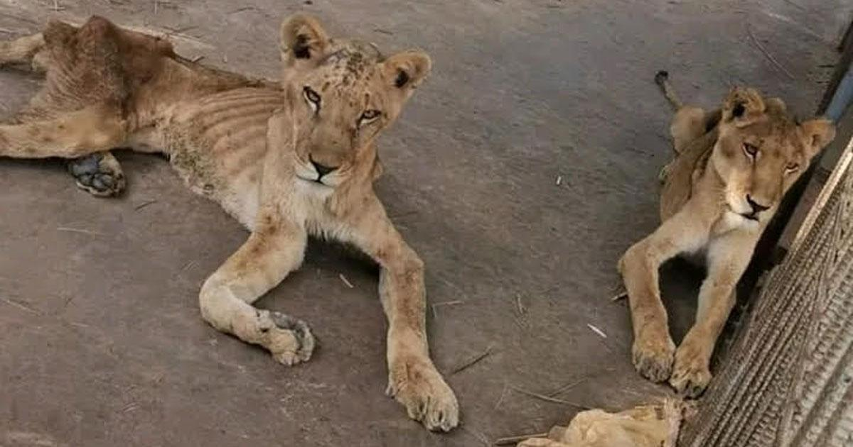 Rescue the lions from the Sudan National Park!
