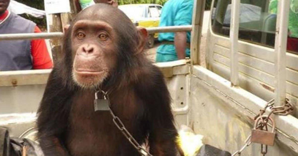 Junte-se à campanha para que os macacos podem ser considerados patrimônio da humanidade vivendo