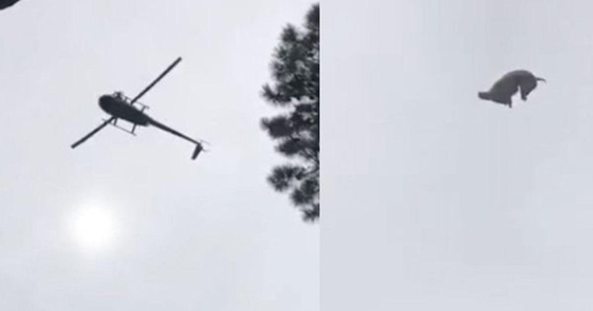 Boycott and jail for the businessman who threw a pig from a helicopter!