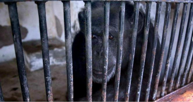Cecilia the chimpanzee is depressed to be alone, we need her transfer to the Sanctuary of Sorocaba