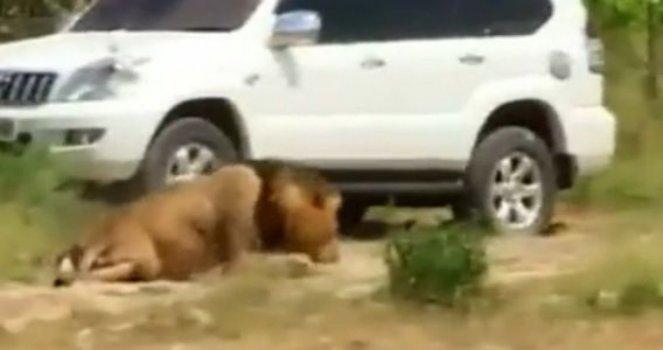 FAUNE SAUVAGE, lions, tigres, éléphants etc !!!!!!!! 5ac5ff0f35796ac39947b93e8272b0a2