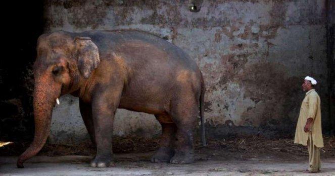 Rescatar al Elefante Kaavan de su Encierro