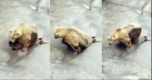 Salvar o urso polar do jardim zoológico de Belgrado!