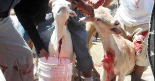Pare a chacina cruel de 7000 cabras!